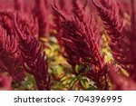 amaranth flowers plant field in ... | Shutterstock . vector #704396995