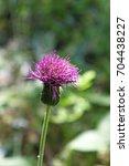 european marsh thistle flower... | Shutterstock . vector #704438227