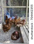 Small photo of A group of ISA Brown hens in a chicken coop.