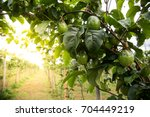 organic avocado plantation on... | Shutterstock . vector #704449219