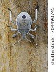 Small photo of Image of Hemiptera bug on tree. Insect. Animal.