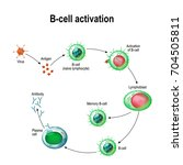 activation of b cell leukocytes ... | Shutterstock .eps vector #704505811