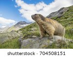 Proud Alpine Marmot On The Loo...