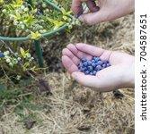 blueberries harvest in the... | Shutterstock . vector #704587651