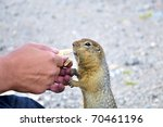 the hungry gopher loves  when... | Shutterstock . vector #70461196