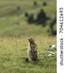 Small photo of Alpine marmot standing right up - alpenmarmot - marmota marmota