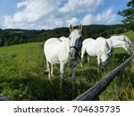 Stock photo famous lipizzian horses on a pasture in piber styria austria 704635735