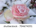 a pale pink rose in the fresh... | Shutterstock . vector #704674351