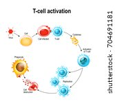 activation of  t cell... | Shutterstock .eps vector #704691181