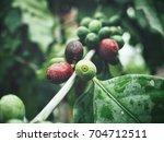 coffee plant | Shutterstock . vector #704712511