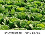 chinese cabbage crops in growth ... | Shutterstock . vector #704715781