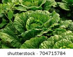 chinese cabbage crops in growth ... | Shutterstock . vector #704715784