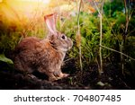 Stock photo brownish gray rabbit hare giant on the backdrop of a garden a garden in the bushes of carrots and 704807485