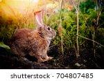 brownish gray rabbit hare giant ... | Shutterstock . vector #704807485