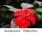 puerto rican hibiscus  amapola  ...   Shutterstock . vector #704812411