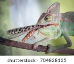chameleon with a large insect... | Shutterstock . vector #704828125