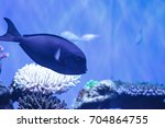 Small photo of White-fin surgeonfish Acanthurus albipectoralis on a marine coral reef