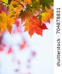 red green and orange maple... | Shutterstock . vector #704878831