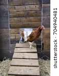 Small photo of GLASGOW, SCOTLAND, UK - SEPTEMBER 23 2013: An ISA Brown hen coming out of the hen house