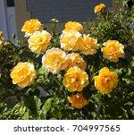deliciously  spicy fragranced ... | Shutterstock . vector #704997565