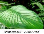 calathea | Shutterstock . vector #705000955