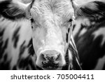 close up portrait of a black... | Shutterstock . vector #705004411