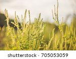 ambrosia bushes that cause... | Shutterstock . vector #705053059
