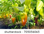 Small photo of Growing sweet peppers in a greenhouse close-up. Fresh juicy red green and yellow peppers on the branches close-up. Agriculture - large crop of acute pepper.