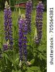 purple lupines. lupines every... | Shutterstock . vector #705064381