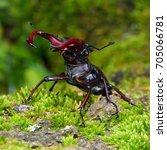 stag beetle  lucanus cervus  in ... | Shutterstock . vector #705066781