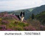 border colle on hilltop    Shutterstock . vector #705078865