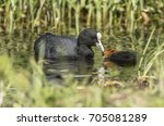 a coot feeding a juvenile on a... | Shutterstock . vector #705081289