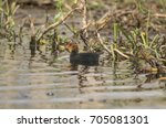 a coot  juvenile  swimming on a ... | Shutterstock . vector #705081301