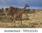 giraffe in the ngorongoro... | Shutterstock . vector #705122131