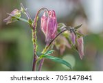 Greenfly On A Columbine Flower...