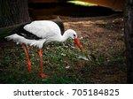 young stork. | Shutterstock . vector #705184825