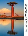 beautiful baobab trees at... | Shutterstock . vector #705245569