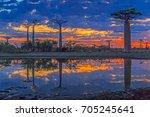 beautiful baobab trees at... | Shutterstock . vector #705245641