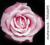 Pink Rose On Black Background