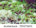 wild lingonberry growing in... | Shutterstock . vector #705273691