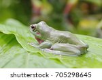dumpy frogs  tree frogs | Shutterstock . vector #705298645