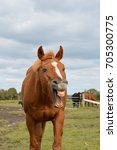 Small photo of Wales - August 2017: A horse shows its teeth. almost as it it is laughing