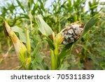 huitlacoche   corn smut  fungus ... | Shutterstock . vector #705311839