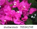 pink bougainvillea on the... | Shutterstock . vector #705341749