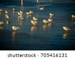 seagulls on the beach   Shutterstock . vector #705416131