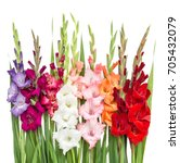 gladiolus flowers isolated on... | Shutterstock . vector #705432079