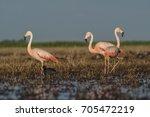 flamingos  patagonia argentina   Shutterstock . vector #705472219