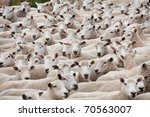 Flock Of Sheared Sheep With...