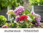 red and violet flowers in a... | Shutterstock . vector #705633565