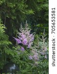 Small photo of Pink Astilbe flowers
